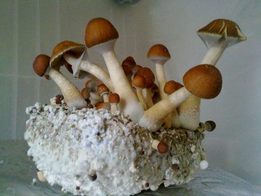 Mckennai Magic Mushroom
